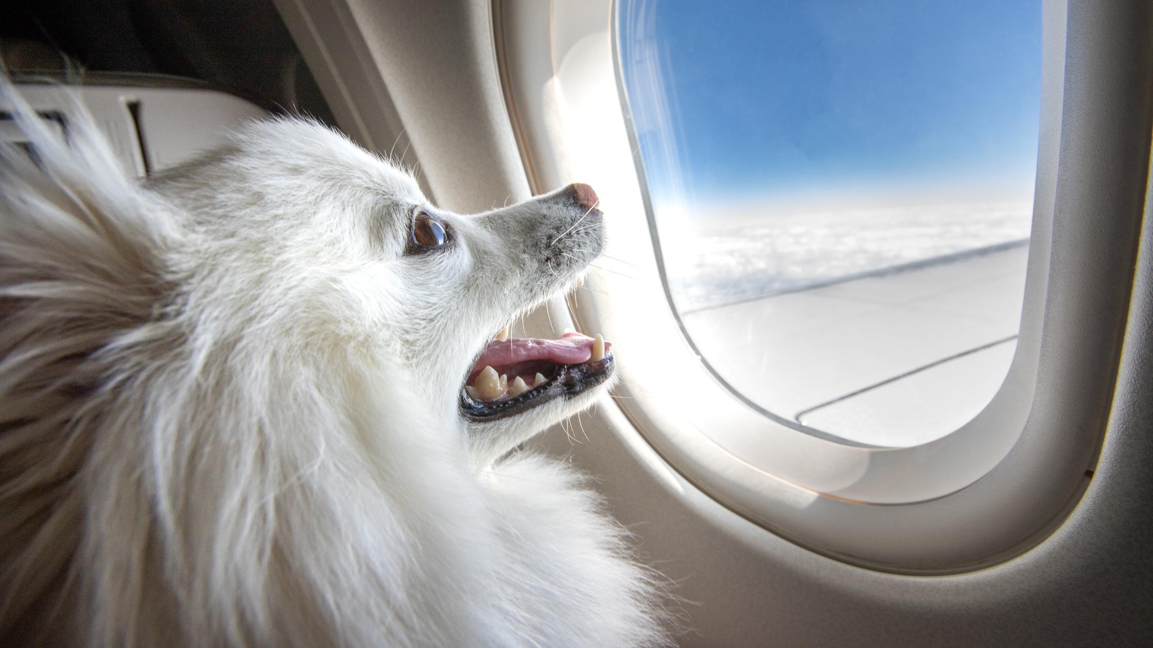 como levar o pet no avião